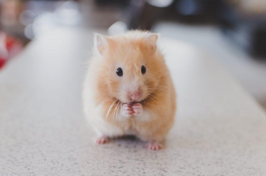A really cute hamster!